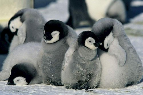 baby penguins in snow