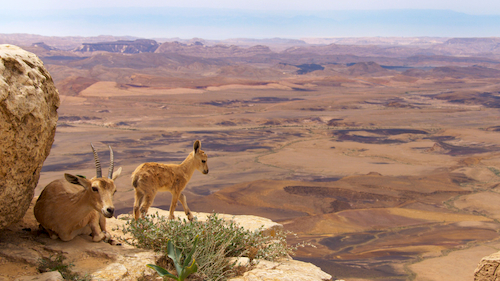 mountain goats on cliff with desert background